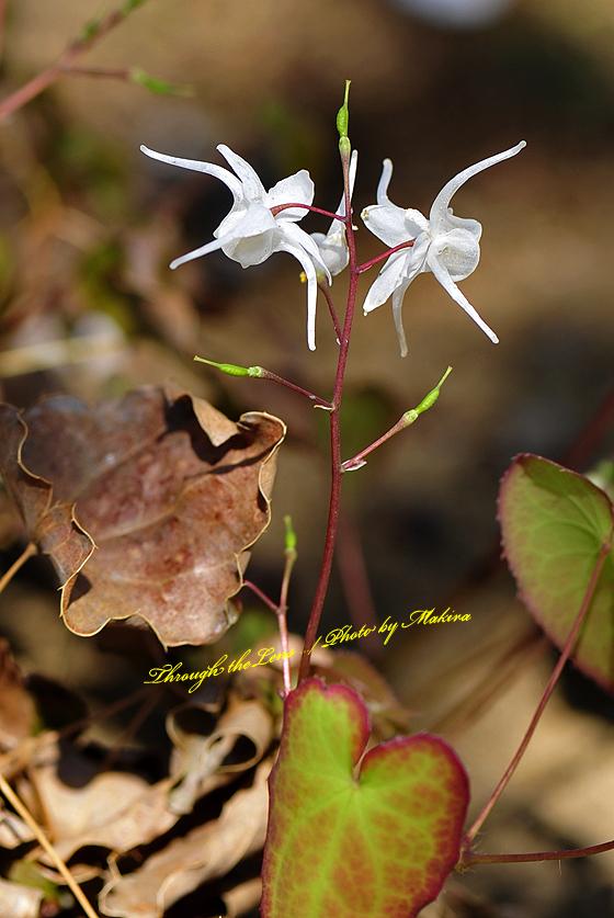 トキワイカリソウ(白花)2