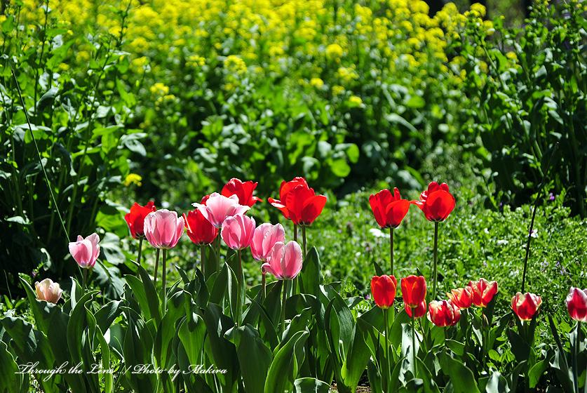 チューリップと菜の花1
