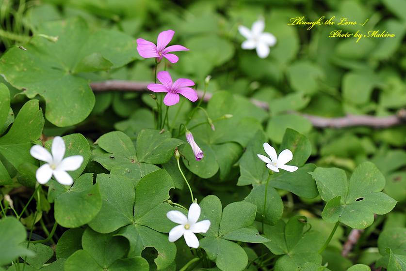イモカタバミと白花2