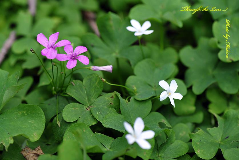 イモカタバミと白花1