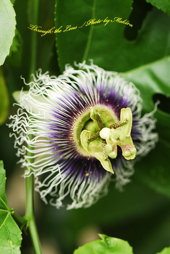 パッションフルーツの花(果物時計草)2