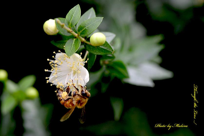 コバノギンバイカとミツバチ