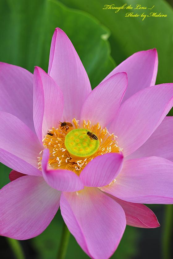 蓮と蜜蜂4