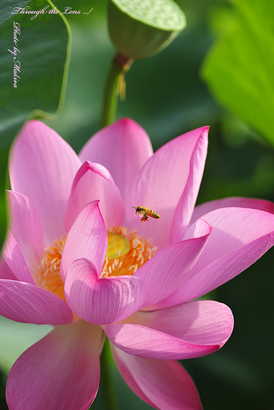 蓮と蜜蜂2