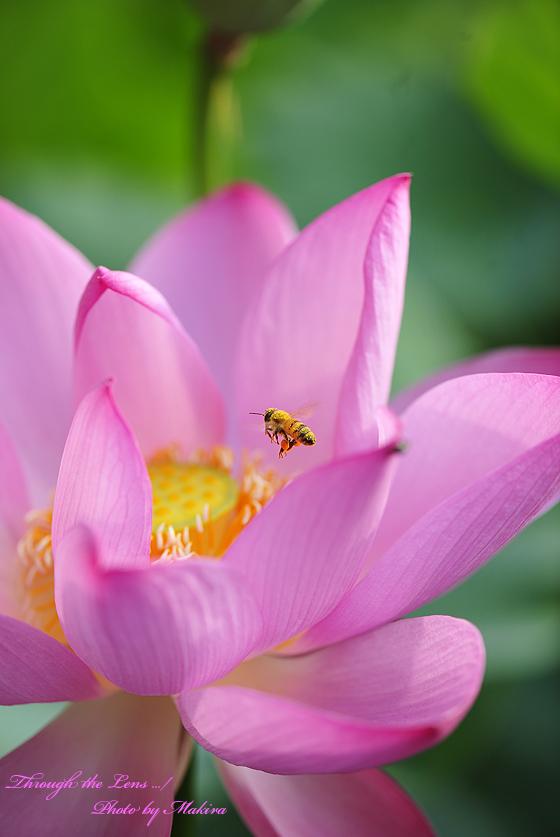 蓮と蜜蜂1