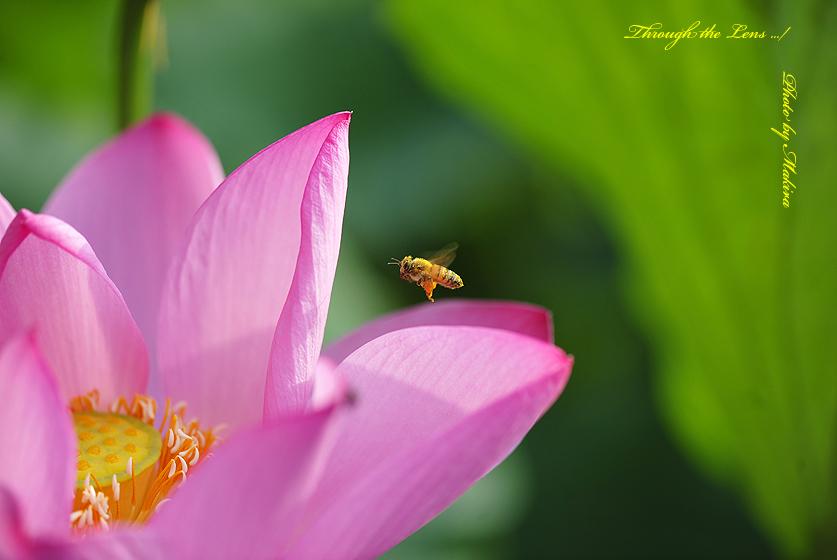 蓮と蜜蜂Y1
