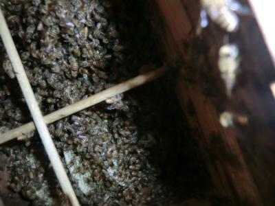 蜂の巣箱の中(2011年7月19日②)