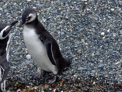 パタゴニアのペンギン01