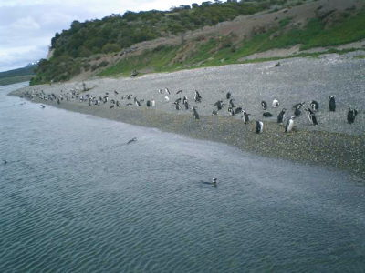 パタゴニアのペンギン02