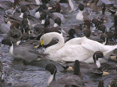 瓢湖の白鳥01【阿賀野市】
