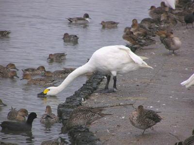 瓢湖の白鳥02【阿賀野市】