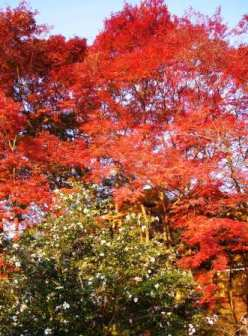 紅葉と山茶花(哲学の道にて)