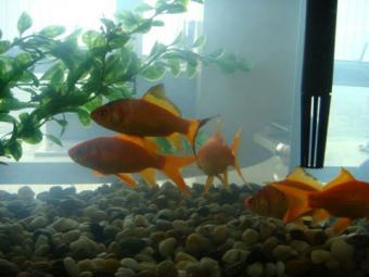 2008・2・17金魚