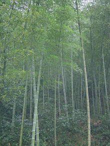 220px-Bambusoideae-china.jpg