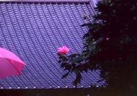 花開く 傘開く