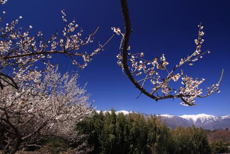 駒ヶ根市吉瀬から梅の花と宝剣岳