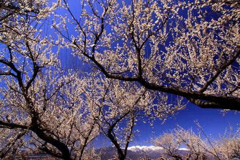 松川町部奈地区からの梅花と白銀の峰