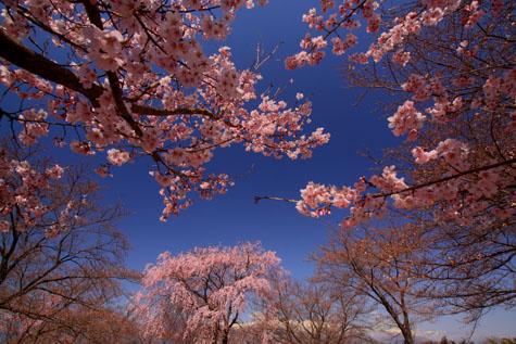 中川城址公園の桜・1