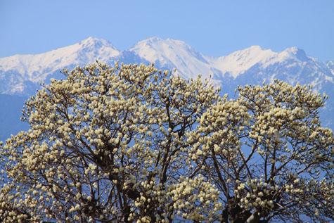 モクレンと南駒ヶ岳