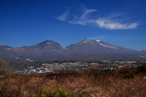 ほころび始めた桜と浅間山