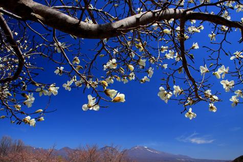 モクレン咲く浅間山