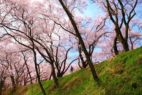 観桜の人と咲く桜