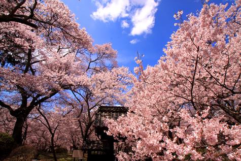 問屋門と桜.・2JPG