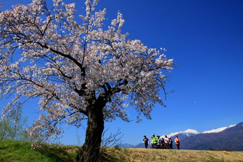 桜と空木岳