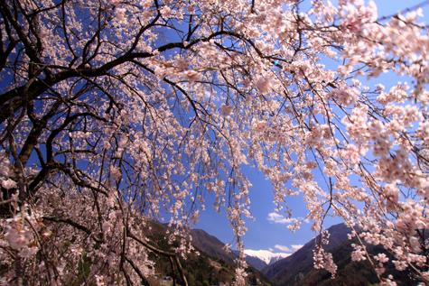 大西公園の桜と赤石岳
