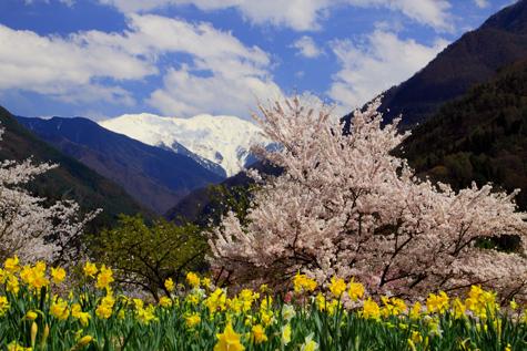 大西公園の桜とスイセン