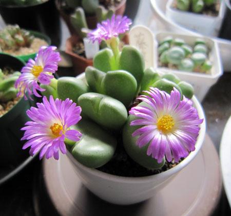 コノフィツム 藤波の花