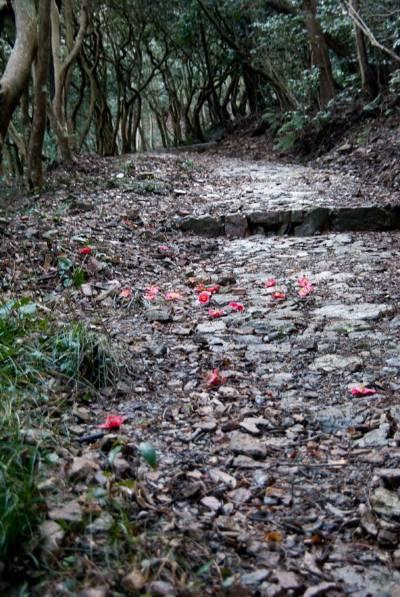 本坂峠 椿の原生林