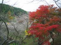sikizakura2