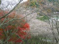 sikizakura1