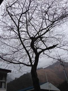 桜の木です