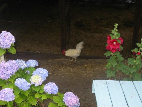 鶏早朝散歩