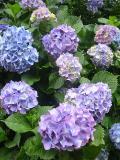 アジサイ青紫