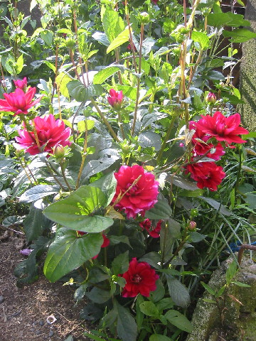 ダリアローズ花壇