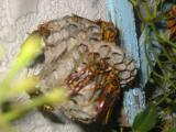 蜂の巣つくり