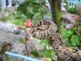 タチアオイ種