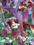 ハゲイトウの花