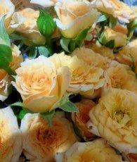 13年オレンジバラ