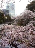 cchidorigafuchi20110409.jpg