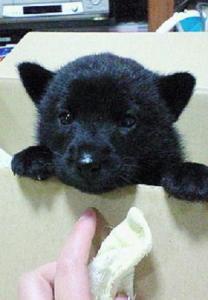 小尾家の甲斐犬、ナナちゃんです。