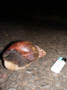 バリ島 ビッグツムリ