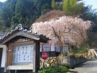 浄泉寺の桜