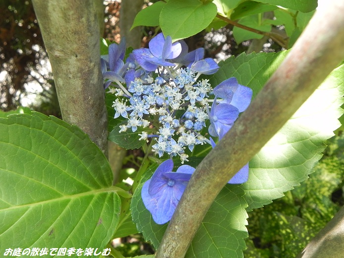 ajisai2_20130628205412.jpg