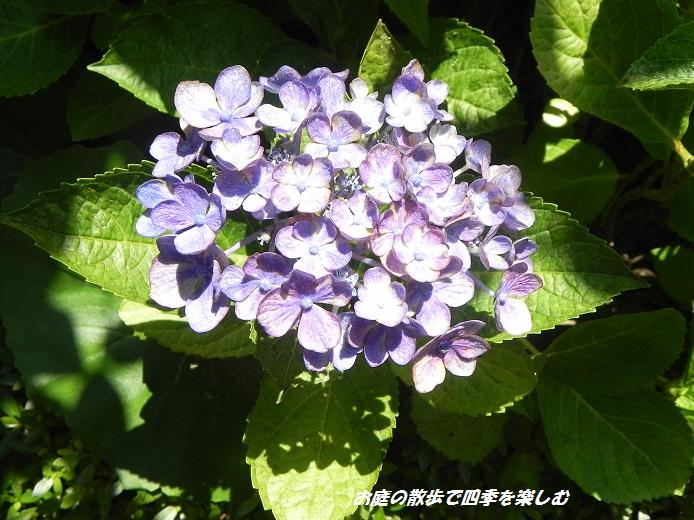 ajisai4_20130628205416.jpg