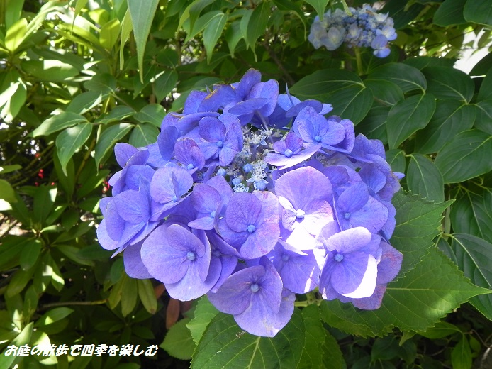 ajisai5_20130628205417.jpg