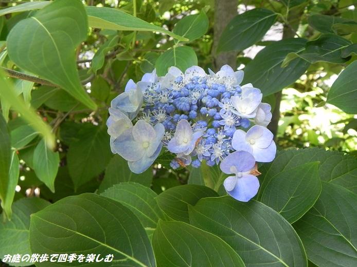 ajisai6_20130628205411.jpg